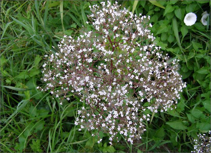 D_BLOM_0036_pluimgipskruid_gypsophila paniculata