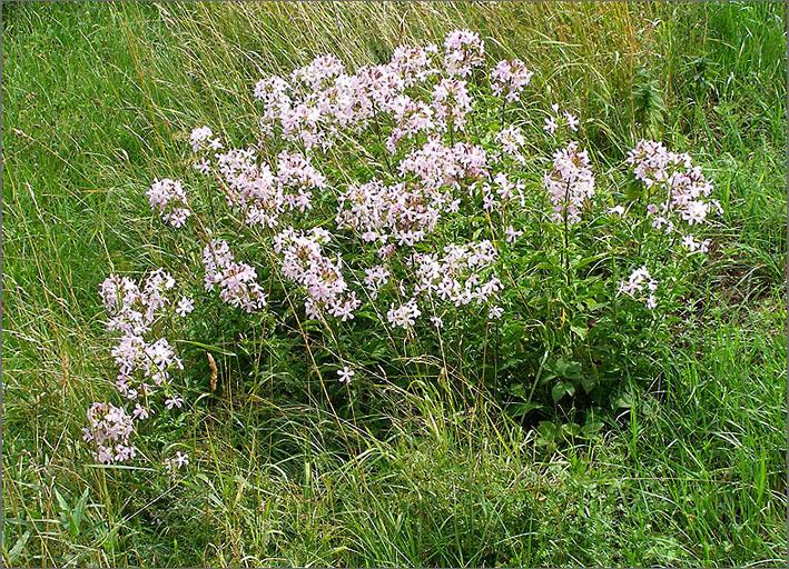 D_BLOM_0039_zeepkruid_saponaria officinalis