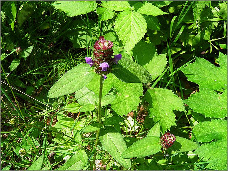 D_BLOM_0058_gewone brunel_prunella vulgaris