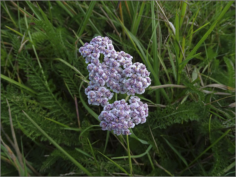 D_BLOM_0085_duizendblad_achillea-millefolium