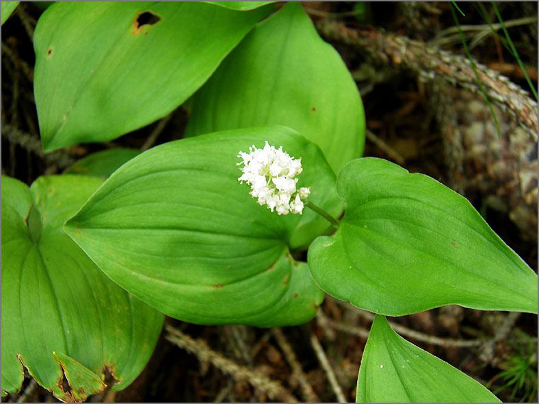 D_BLOM_0107_dalkruid_maianthenum bifolium