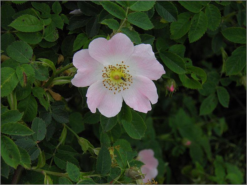 D_BLOM_0155_hondsrozen-groep_rosa subsec. caninae