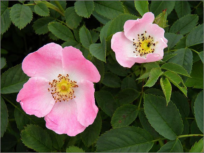 D_BLOM_0156_hondsrozen-groep_rosa subsec. caninae