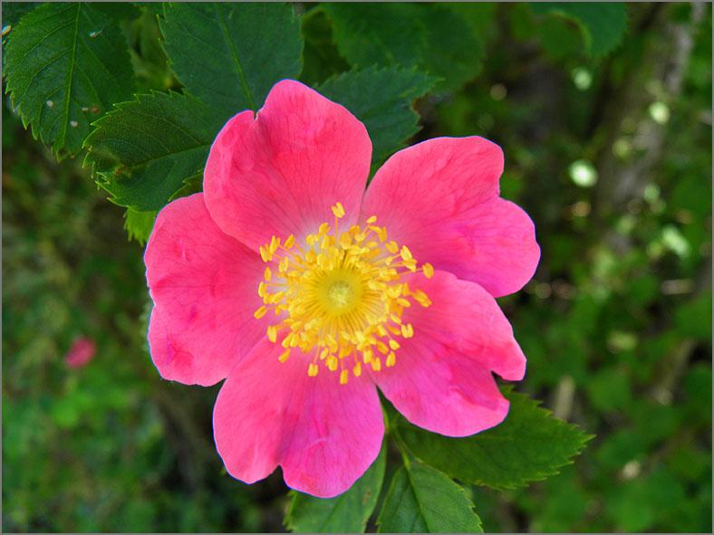 D_BLOM_0157_hondsrozen-groep_rosa subsec. caninae