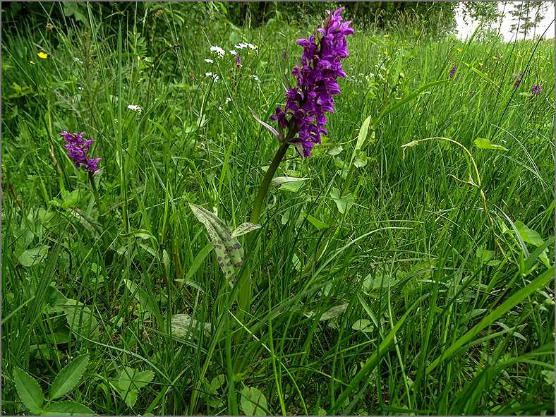 D_BLOM_0159_brede orchis_dactylorhiza majalis