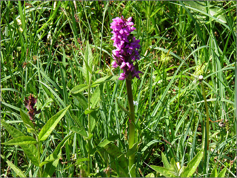 D_BLOM_0160_brede orchis_dactylorhiza majalis