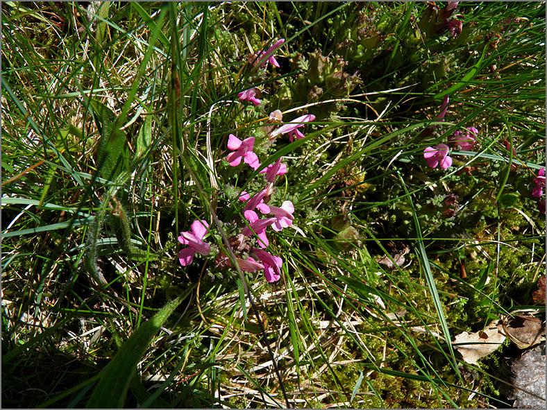 D_BLOM_0163_heidekartelblad_pedicularis sylvatica
