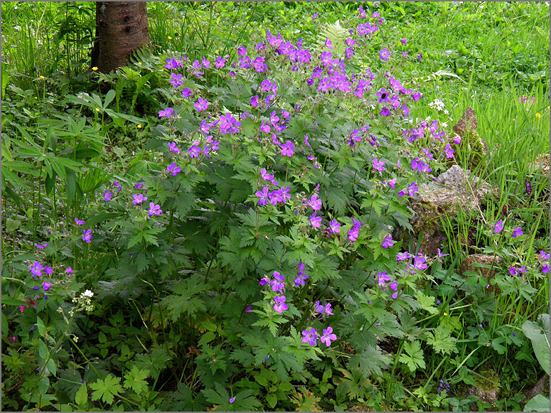 D_BLOM_0170_bosooievaarsbek_geranium sylvaticum