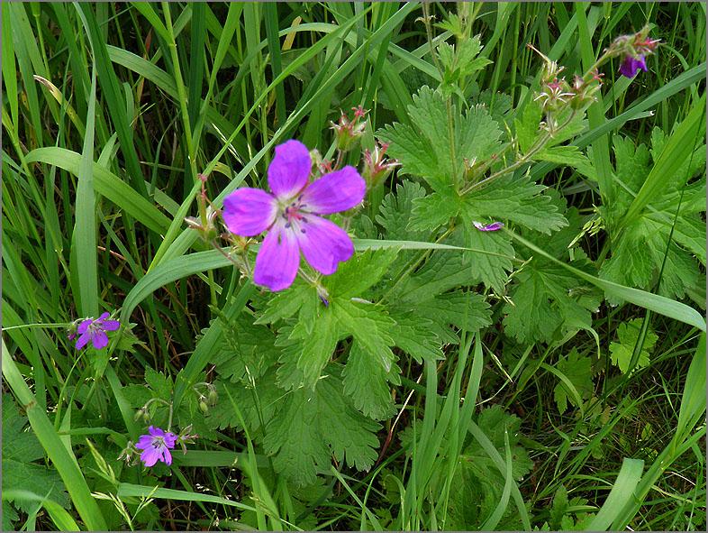 D_BLOM_0172_bosooievaarsbek_geranium sylvaticum