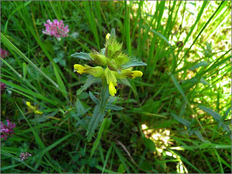 D_BLOM_0175_kleine ratelaar_rhinanthus minor