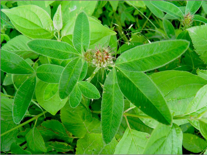 D_BLOM_0182_bochtige klaver_trifolium medium