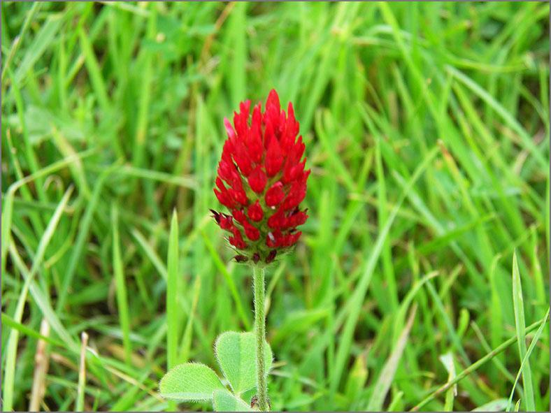 D_BLOM_0185_inkarnaatklaver_trifolium incarnatum