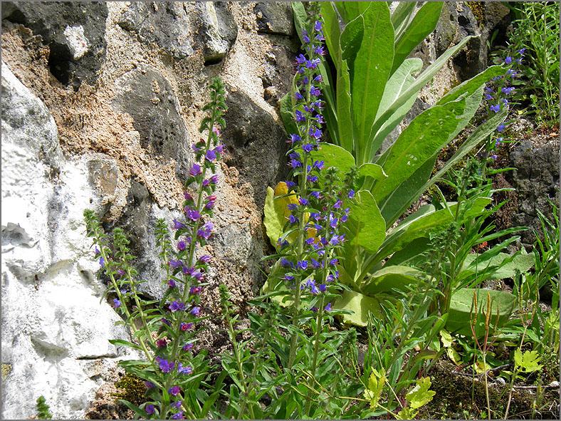 D_BLOM_0221_slangenkruid_echium vulgare