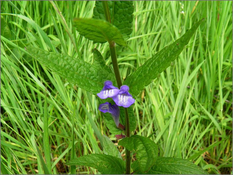 D_BLOM_0250_blauw glidkruid_scutellaria galericulata