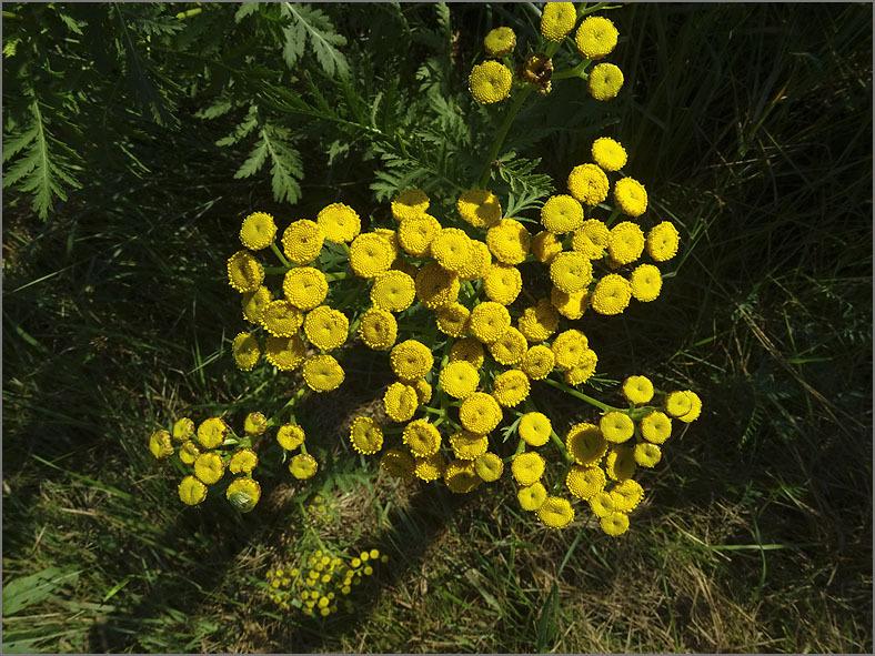 D_BLOM_0266_boerenwormkruid-tanacetum vulgare