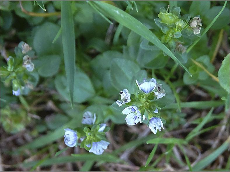 D_BLOM_0291_tijmereprijs_veronica serpyllifolia