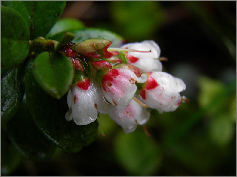 D_BLOM_0320_rode bosbes_vossenbes_vaccinium vitis idaea