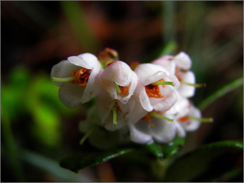 D_BLOM_0322_vossenbes_vaccinium vitis idaea