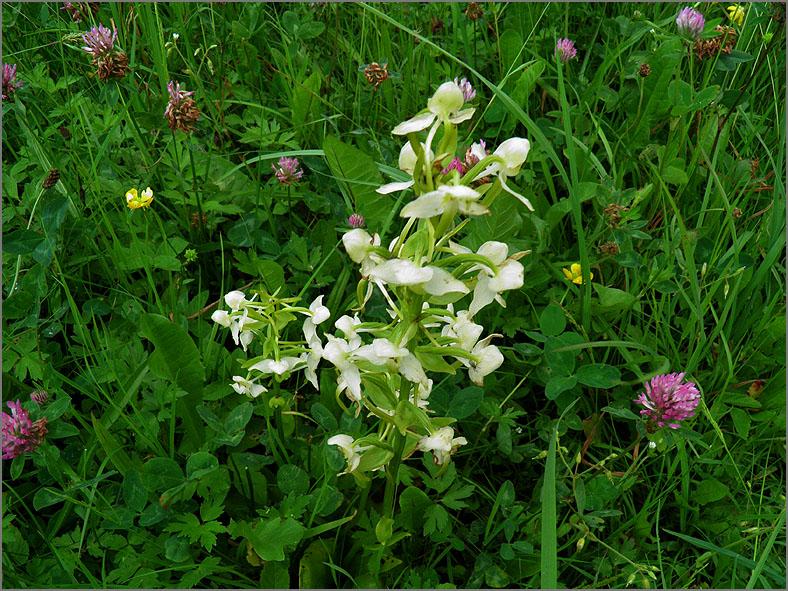 D_BLOM_0345_bergnachtorchis_platanthera chlorantha