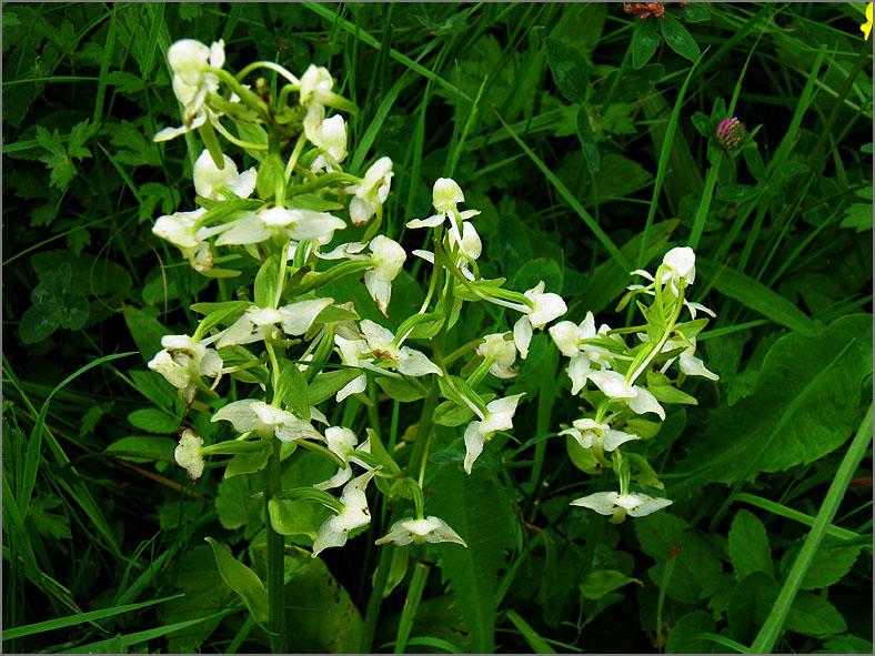 D_BLOM_0346_bergnachtorchis_platanthera chlorantha