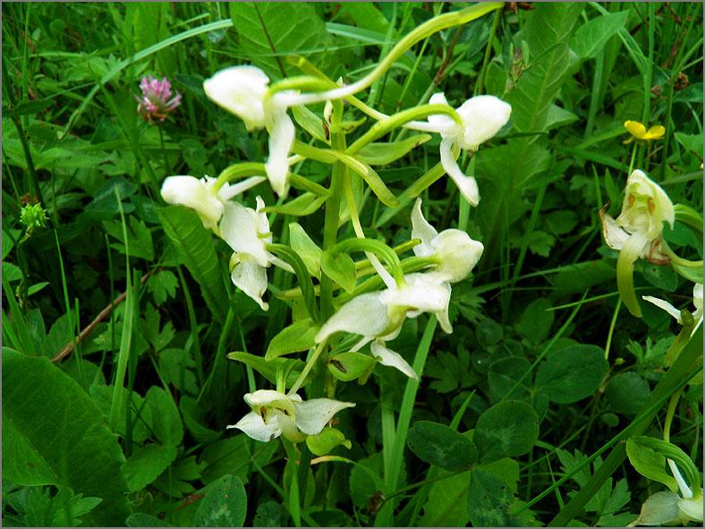 D_BLOM_0347_bergnachtorchis_platanthera chlorantha