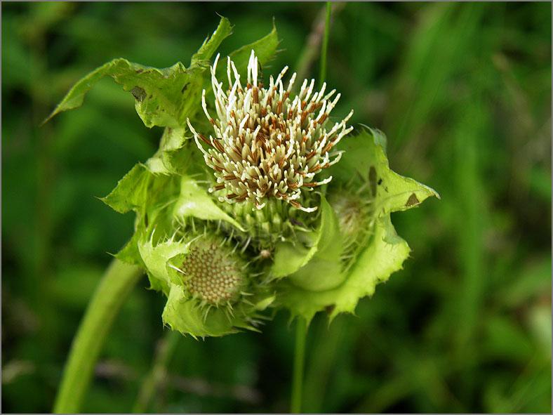 D_BLOM_0360_moesdistel_cirsium oleraceum