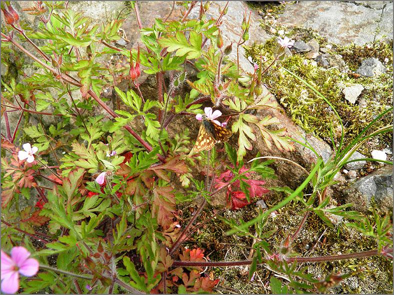 D_BLOM_0363_robertskruid_geranium robertianum
