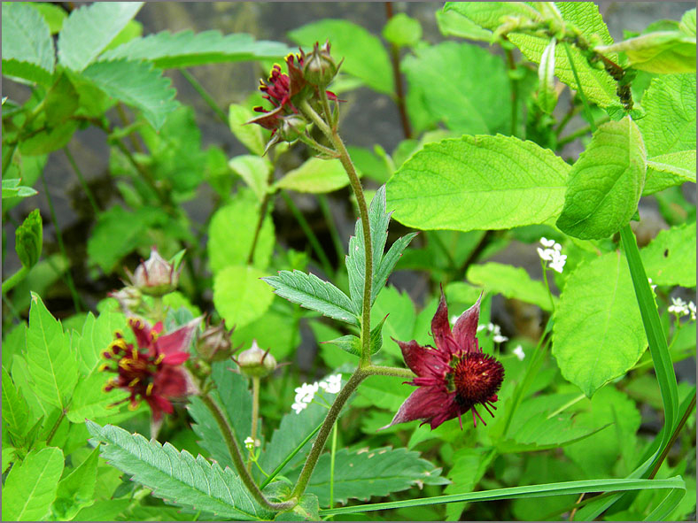 D_BLOM_0365_wateraardbei_potentilla palustris