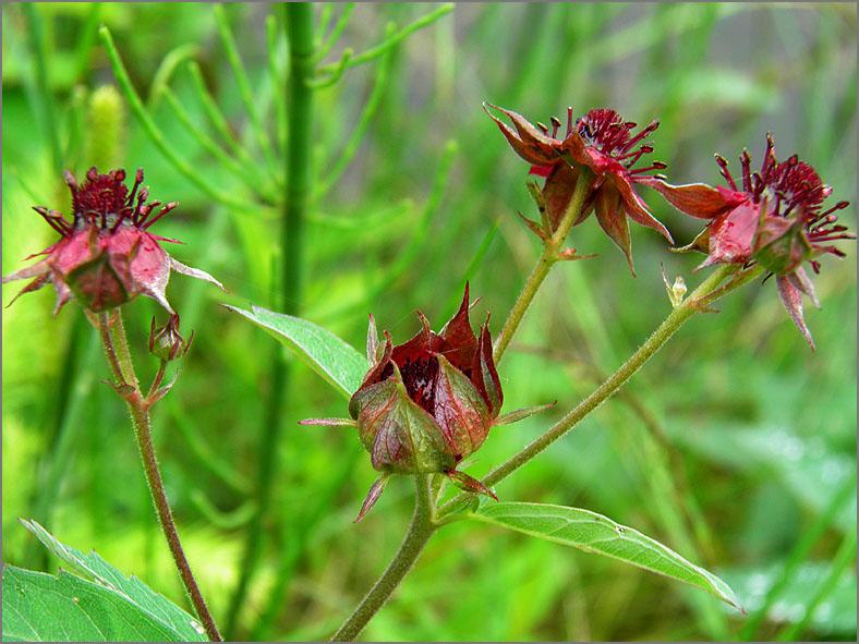 D_BLOM_0366_wateraardbei_potentilla palustris