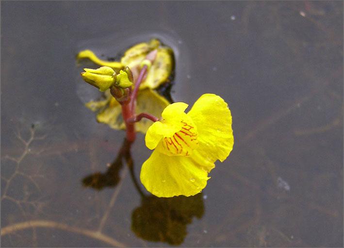 D_BLOM_0378_groot blaasjeskruid_utricularia vulgaris