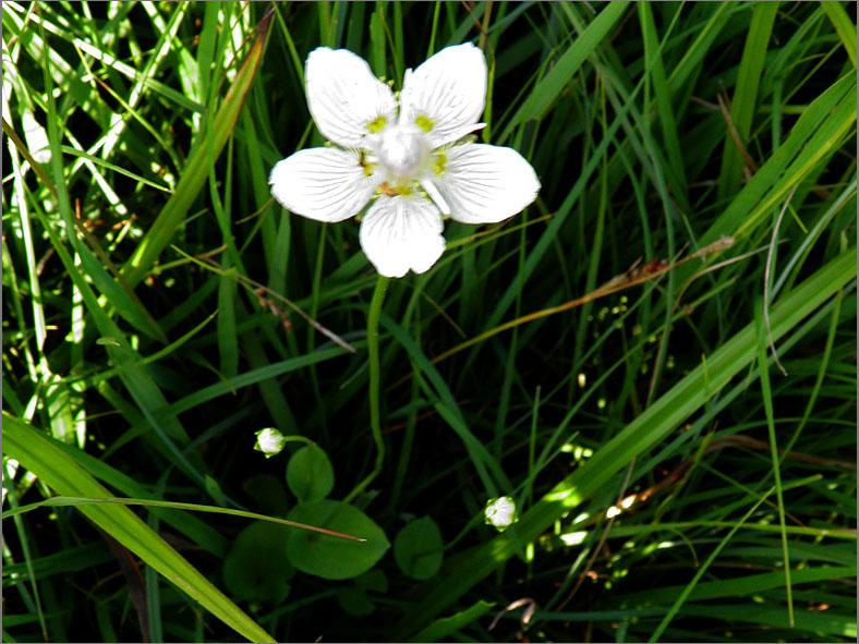 D_BLOM_0409_parnassia_parnassia palustris