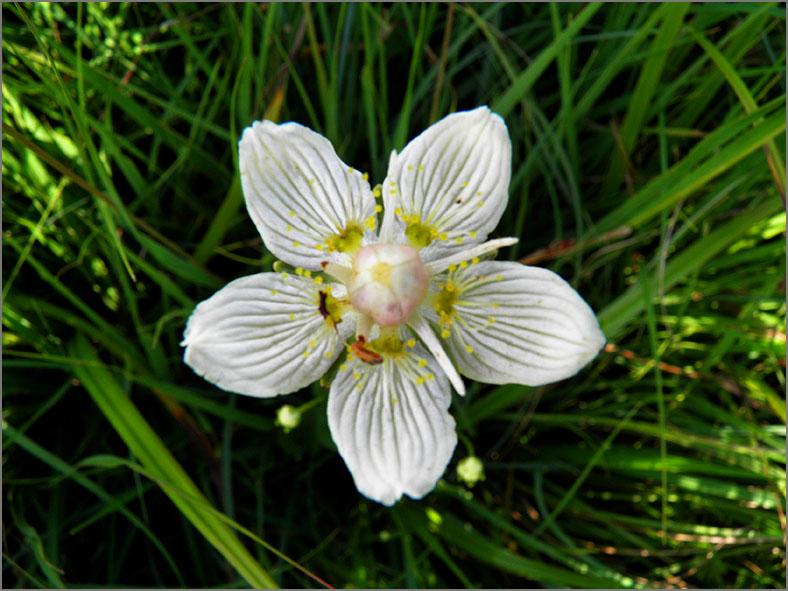 D_BLOM_0410_parnassia_parnassia palustris