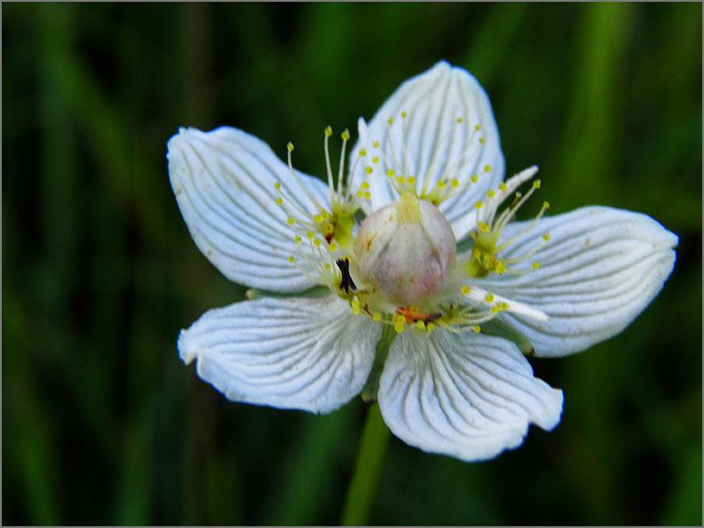 D_BLOM_0411_parnassia_parnassia palustris