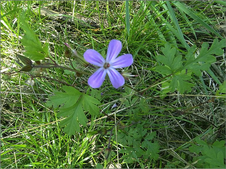 D_BLOM_0444_robertskruid_geranium-robertianum
