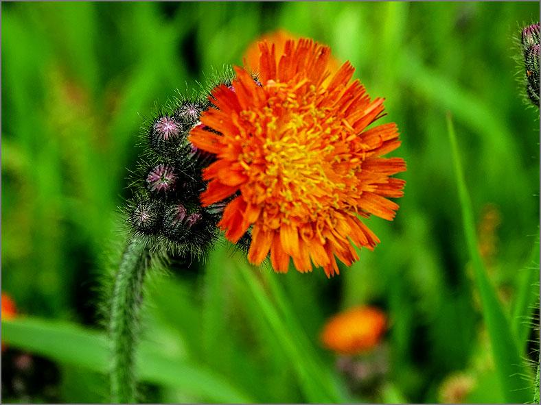 D_BLOM_0450_oranje havikskruid_hieracium aurantiacum
