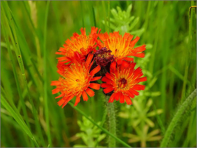 D_BLOM_0451_oranje havikskruid_hieracium aurantiacum