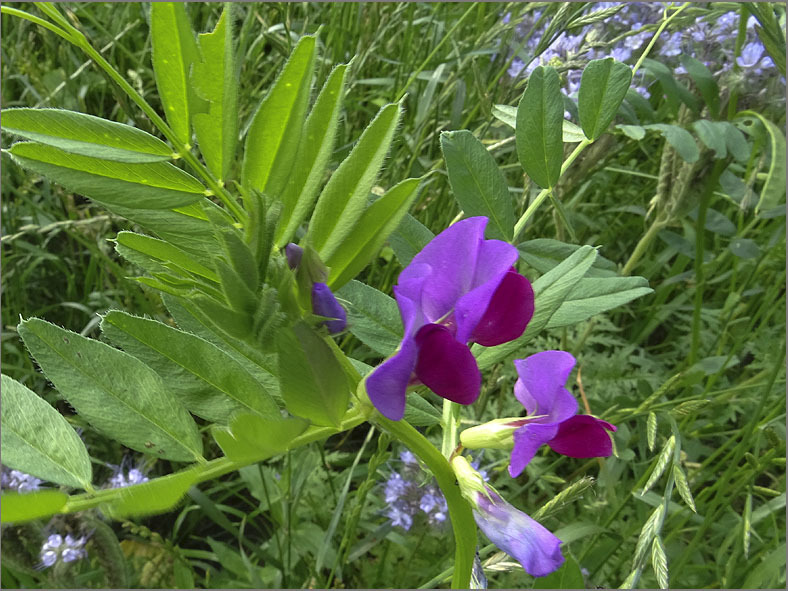 D_BLOM_0468_voederwikke_vicia sativa subsp. sativa