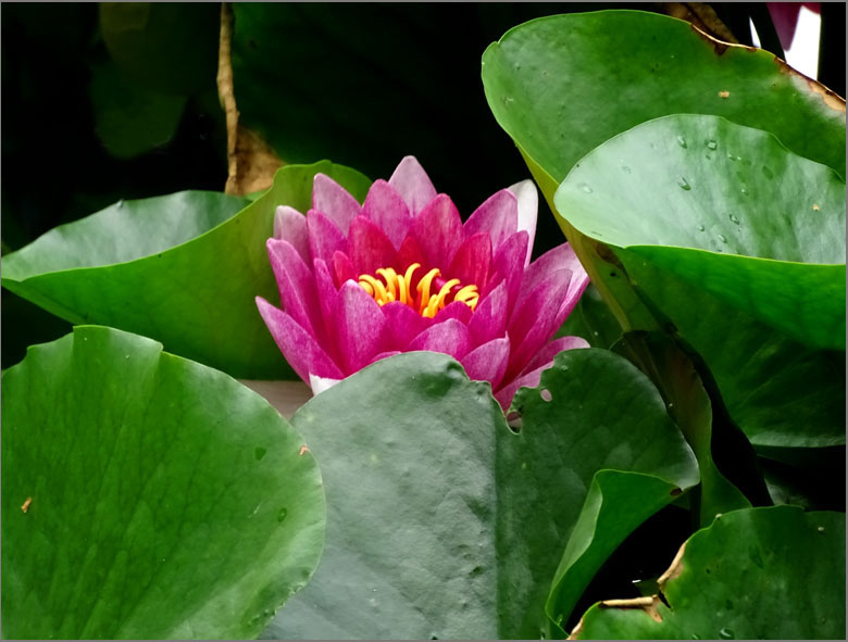 D_BLOM_0472_roze waterlelie _nymphaea marliacea