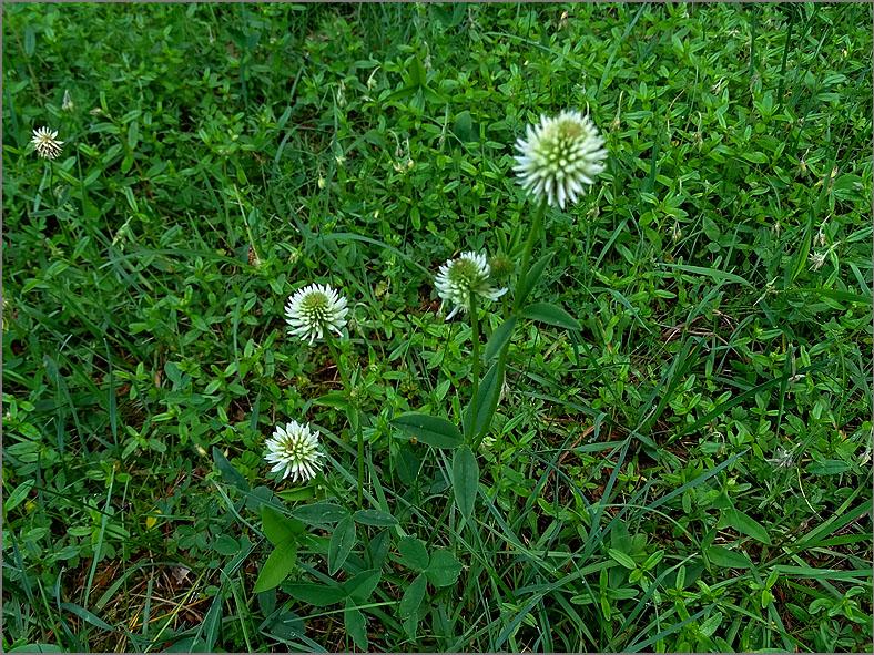 D_BLOM_0475_bergklaver_trifolium montanum