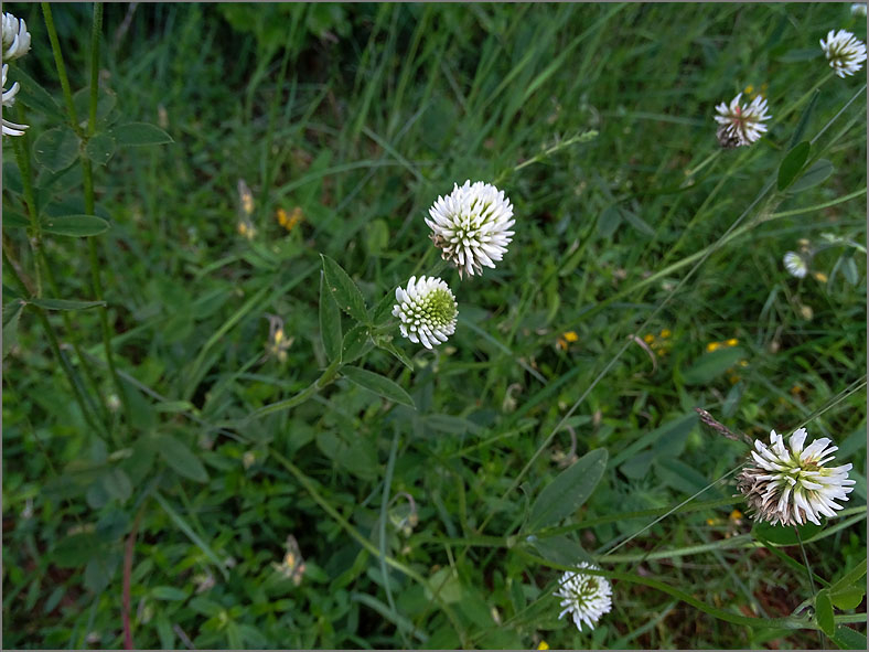 D_BLOM_0476_bergklaver_trifolium montanum