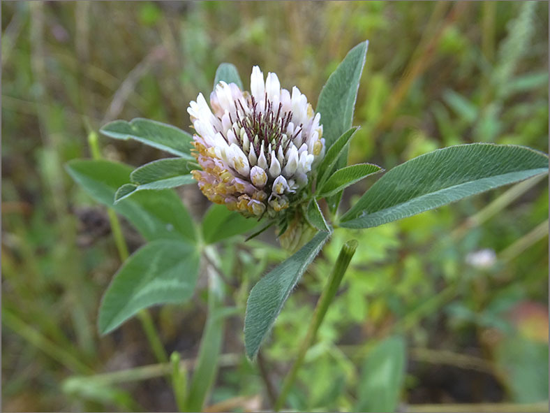 D_BLOM_0491_alexandrijnse klaver_trifolium alexandrinum