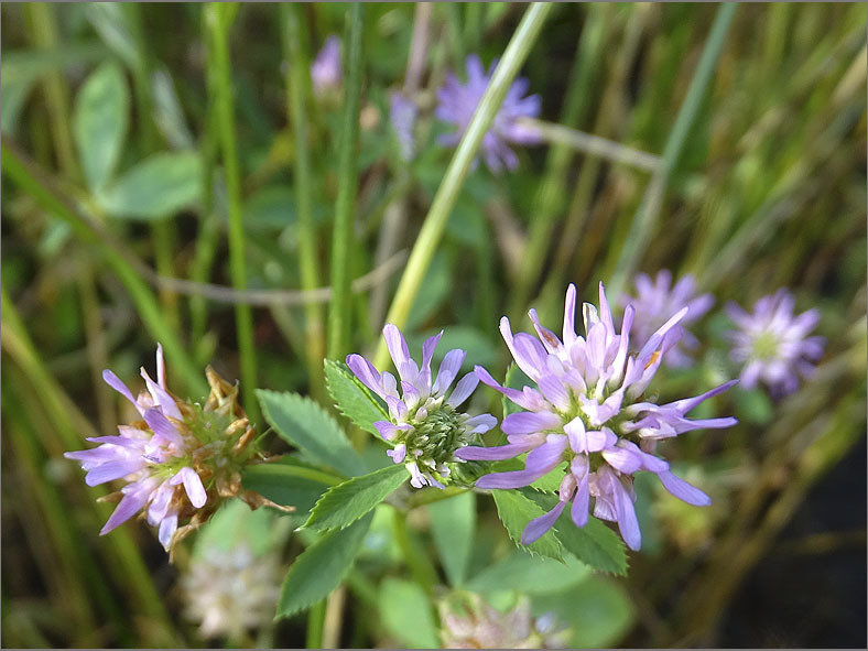 D_BLOM_0492_persische klaver_trifolium resupinatum