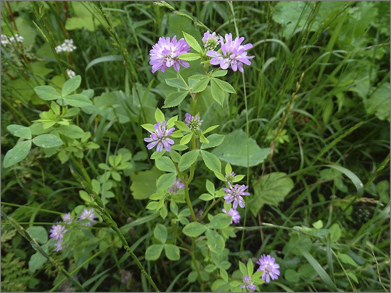 D_BLOM_0493_persische klaver_trifolium resupinatum