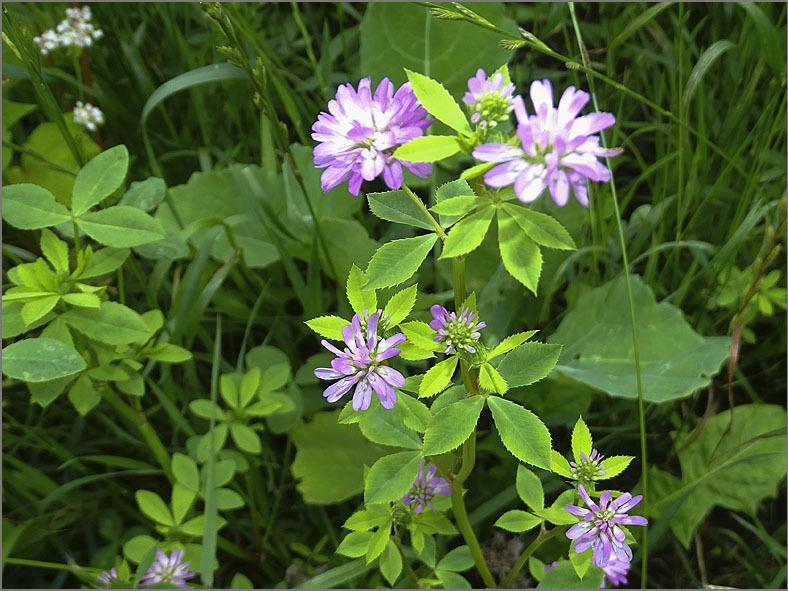 D_BLOM_0494_persische klaver_trifolium resupinatum