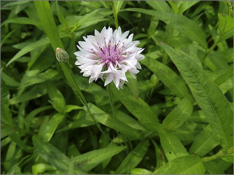 D_BLOM_0498_roze korenbloem_centaurea cyanus