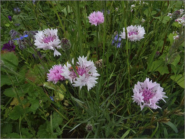 D_BLOM_0499_roze korenbloem_centaurea cyanus