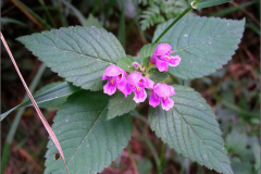 D_BLOM_0045_zachte hennepnetel_galeopsis pubescens