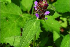 D_BLOM_0059_gewone brunel_prunella vulgaris