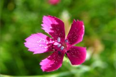 D_BLOM_0061_steenanjer_dianthus deltoides