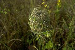 D_BLOM_0067_wilde peen_daucus carota